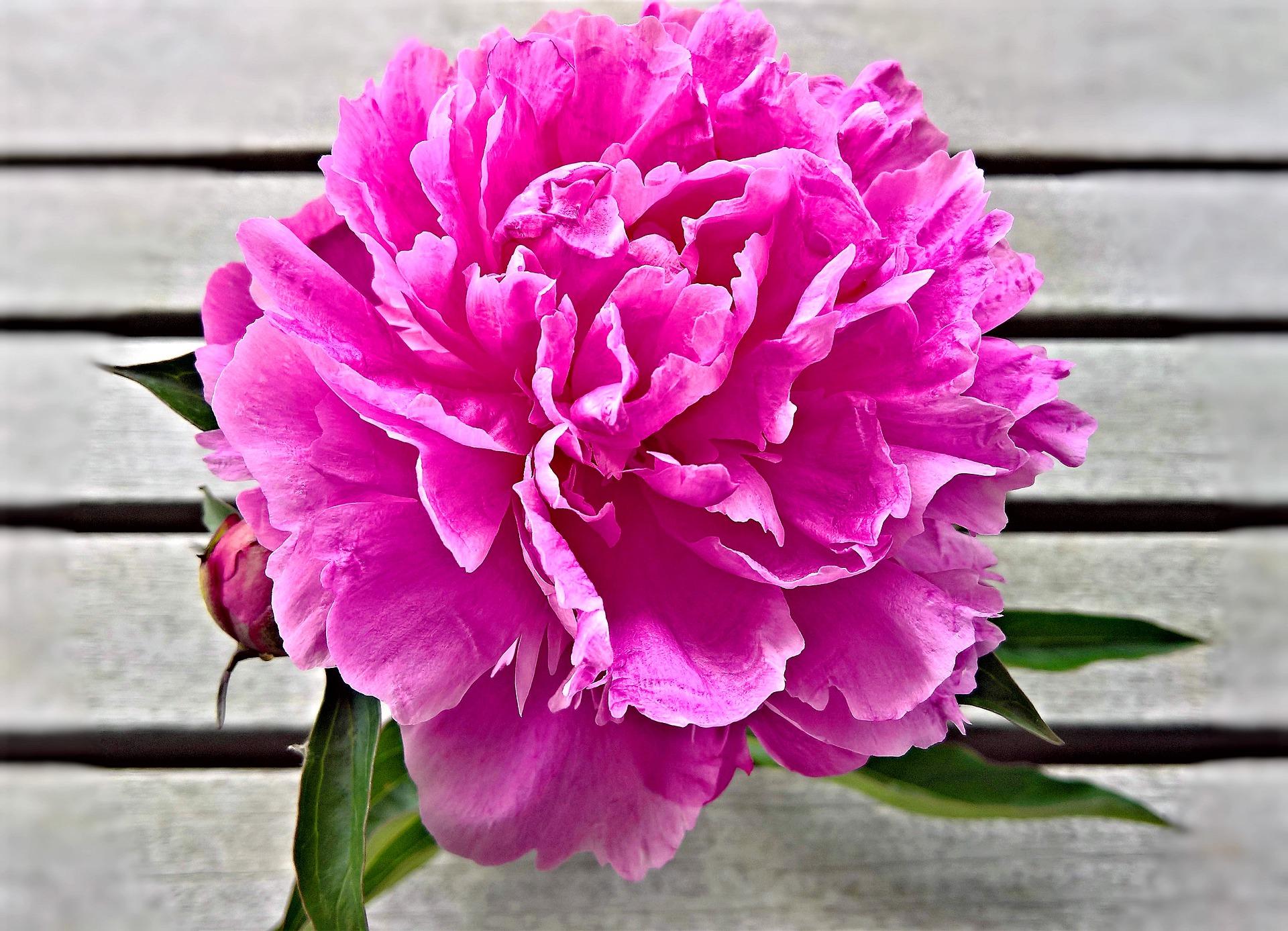 Eine große pinke Blüte